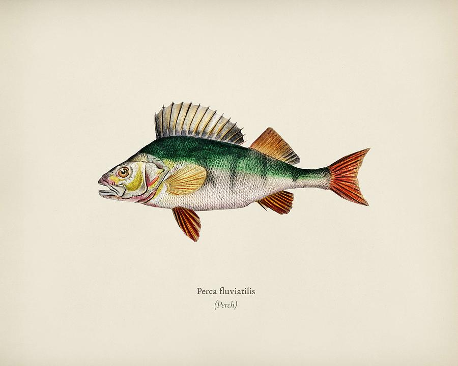 Perca fluviatilis illustrated by Charles Dessalines D Orbigny  1806 1876   by Celestial Images