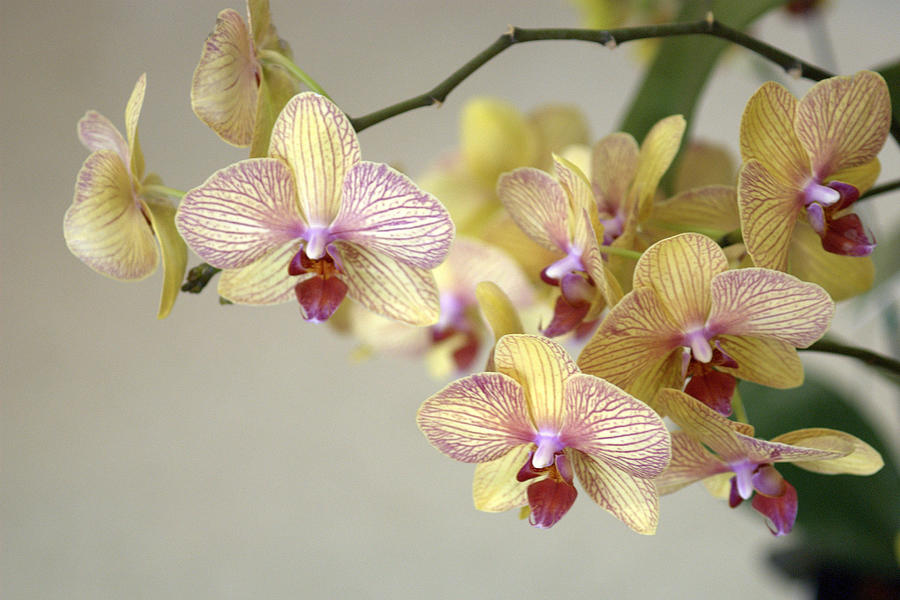 Phalaenopsis Orchid Photograph by Jim Mckinley