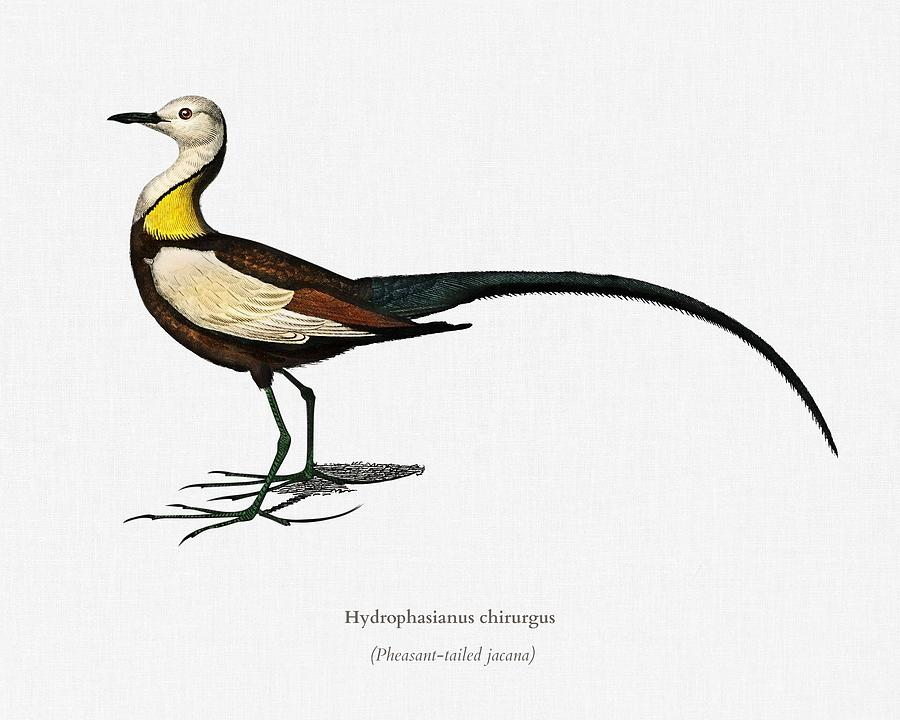 Pheasant tailed jacana  Hydrophasianus chirurgus  illustrated by Charles Dessalines D Orbigny  1806 by Celestial Images