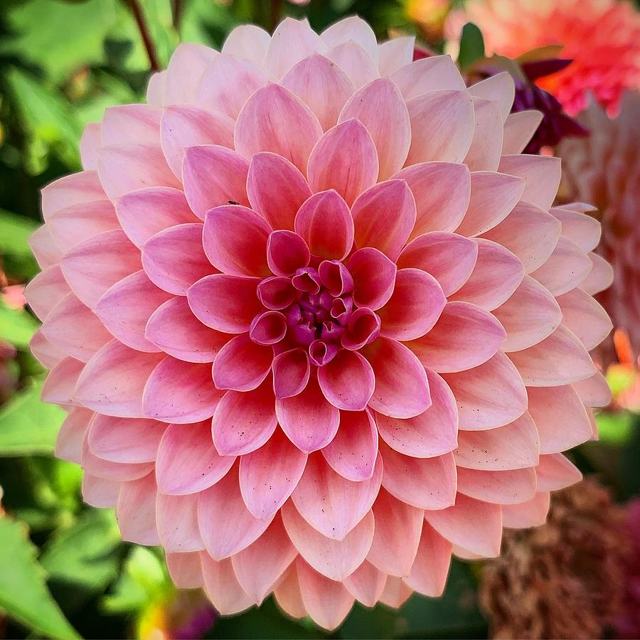 Pink Dahlia by Brian Eberly