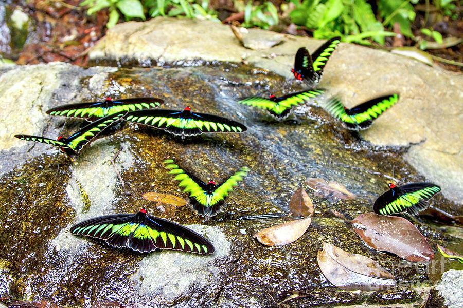 Borneo Photograph - Raja Brookes Birdwing Butterflies 2 by Paul Williams/science Photo Library
