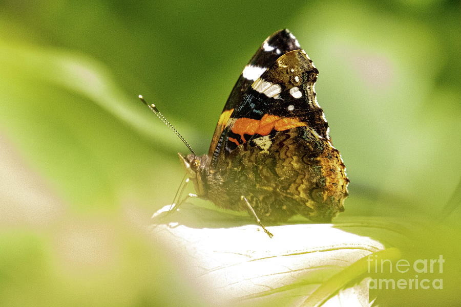 Red Admiral by Brian Roscorla