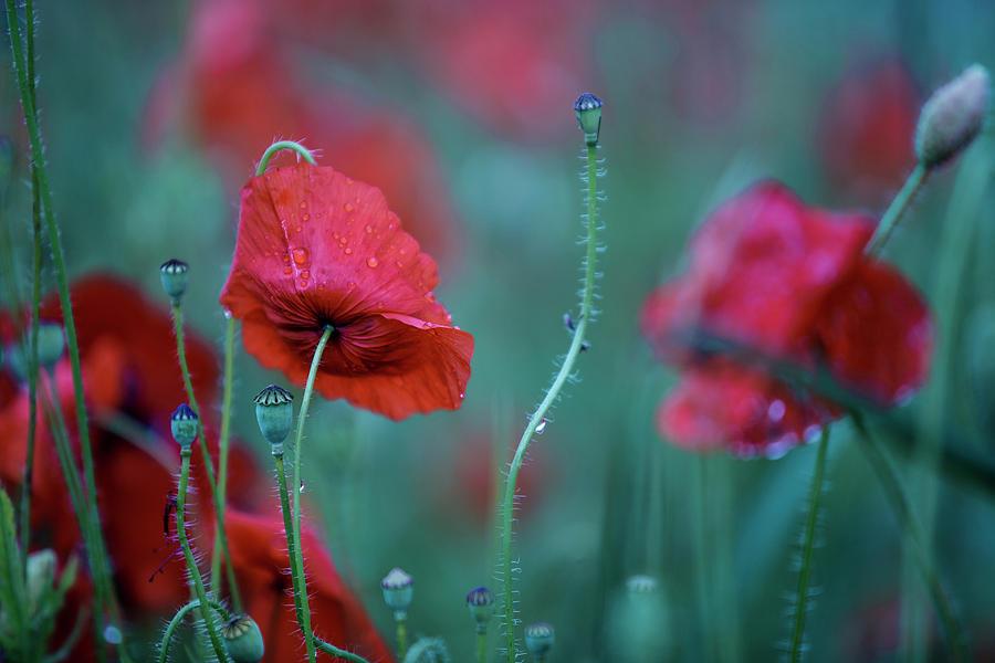 Poppy Photograph - Red Corn Poppy Flowers by Nailia Schwarz