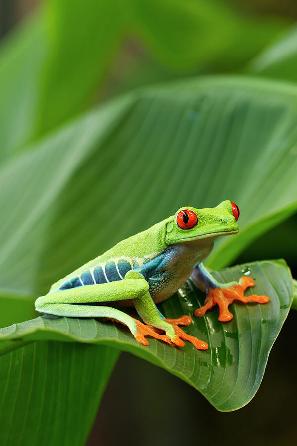 Red Eyed Tree Frog Costa Rica By Paul Souders