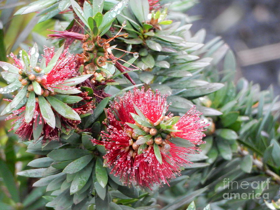 Red fuzzy bottle brush plant wet with round dew drops by Campwillowlake