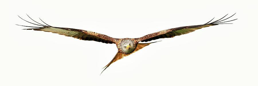 Red Kite - Bird of Prey in flight by Grant Glendinning
