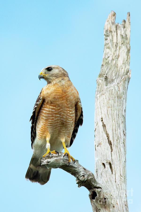 Red-Shouldered Hawk On Snag by Michael D Miller