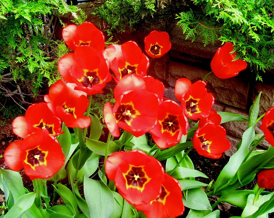 Red Tulips by Stephanie Moore