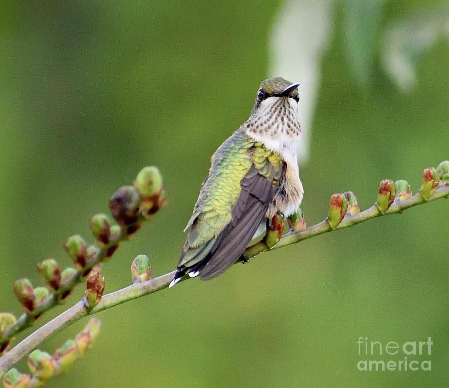 Resting - Ruby-throated Hummingbird Photograph