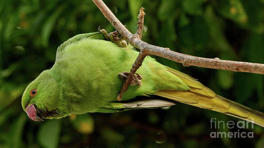 Rose-ringed Parakeet Psittacula krameri by Pablo Avanzini