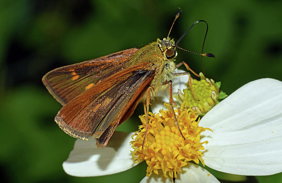 Skipper Butterfly by Larah McElroy