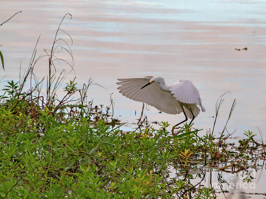 Snowy Egret by Blair Howell