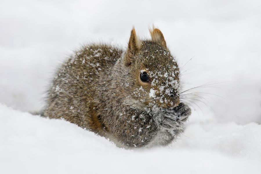 Snowy Squirrel by Brook Burling