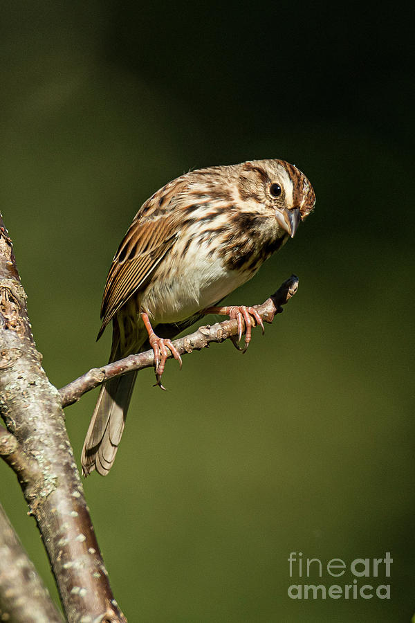 Song Sparrow On Branch by Michael D Miller
