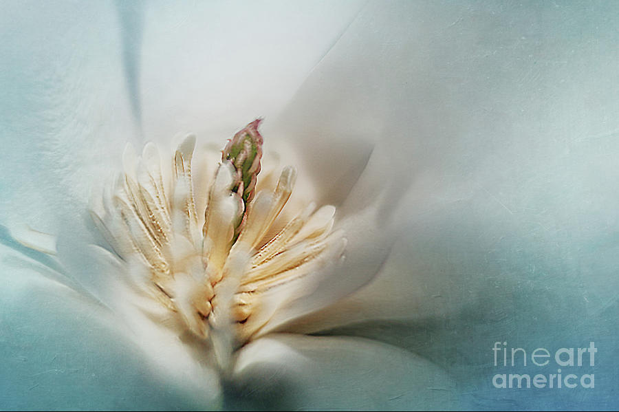 Star Magnolia by Ann Jacobson
