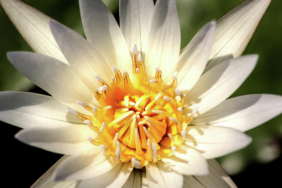 Stunning Water Lily by Don Johnson