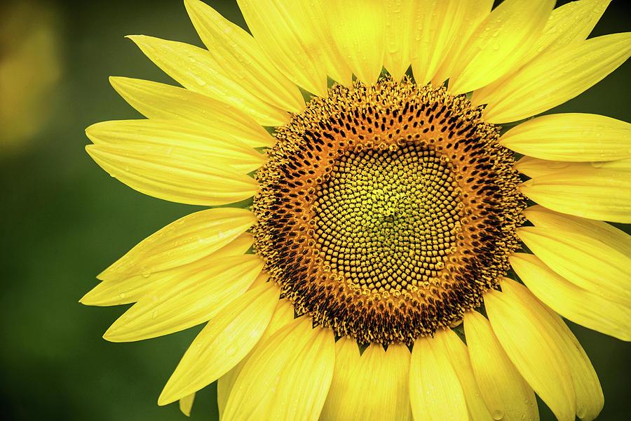Sunflower Macro by Don Johnson