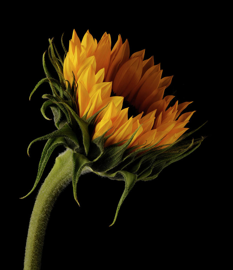 Sunflower On Black Background Photograph by William Turner