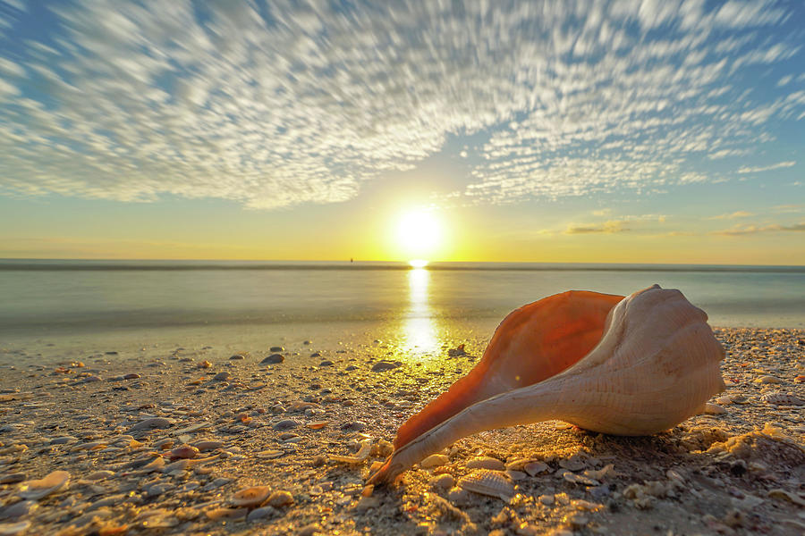 Florida Photograph - Sunset Whelk by Joey Waves