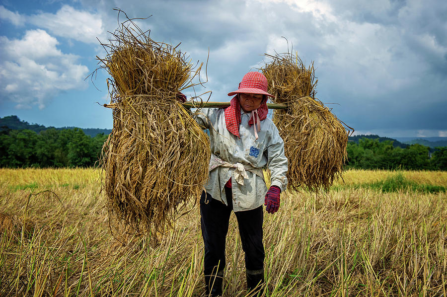 Thai Woman Harvesting Rice  by Lee Craker