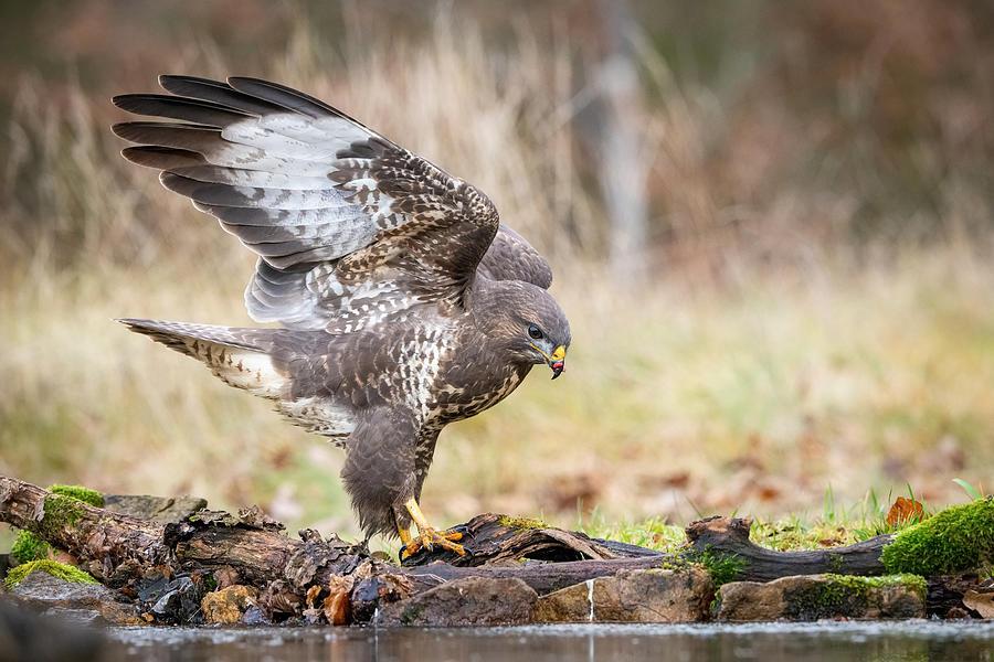 Action Photograph - The Common Buzzard, Buteo Buteo by Petr Simon
