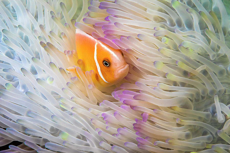 This Common Anemonefish  Amphiprion by Dave Fleetham