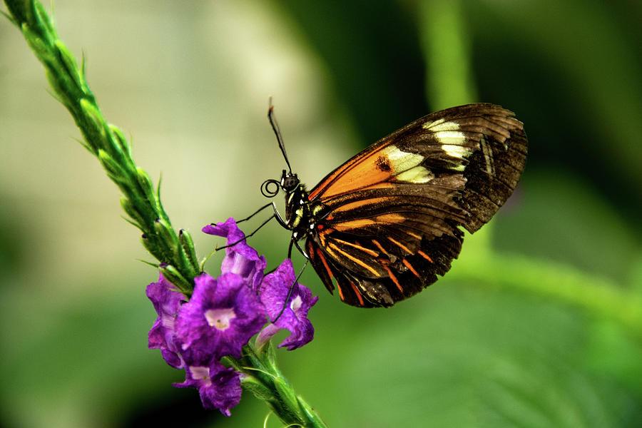 Tiger Longwing Butterfly by Jennifer Wick