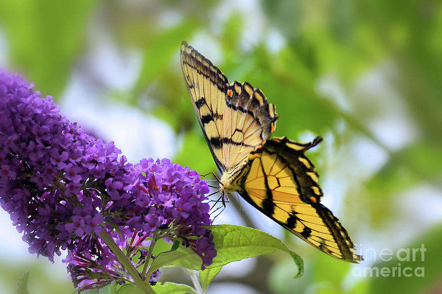 Tiger Swallowtail by Elaine Manley