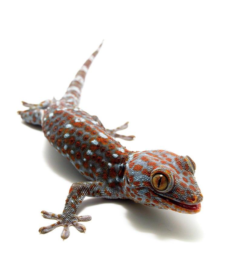 Tokay Gecko by Nathan Abbott