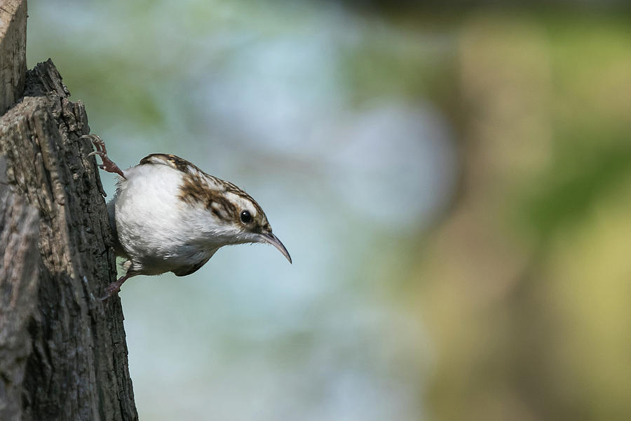 Treecreeper by Wendy Cooper