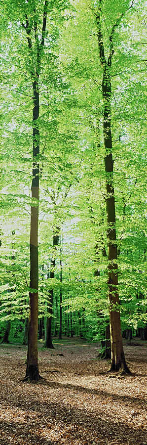 Vertical Photograph - Trees In A Forest, Germany by Panoramic Images