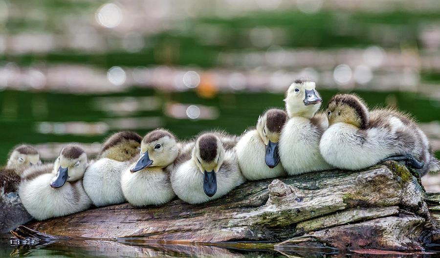 Aythya Collaris Photograph - Usa, Oregon, Hosmer Lake, Deschutes by Mark Williford