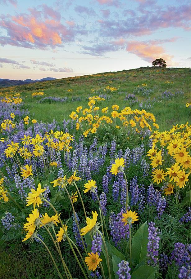 Arrowleaf Balsamroot Photograph - Usa, Washington State, Okanogan by Charles Gurche