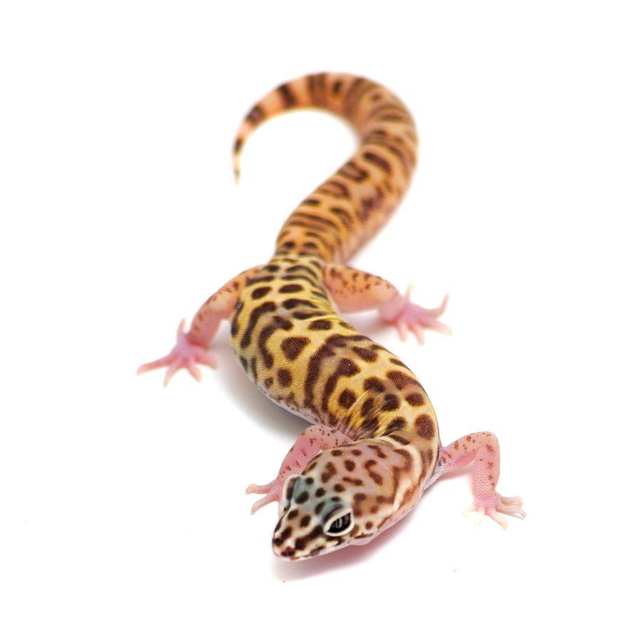 Utah Banded Gecko  Coleonyx variegatus by Nathan Abbott