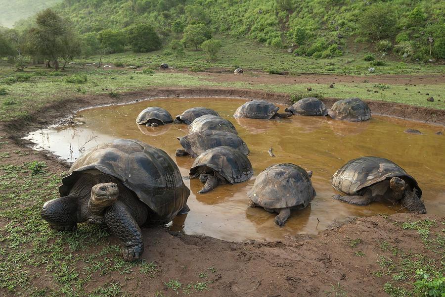 Volcan Alcedo Tortoises In Wallow Photograph by Tui De Roy