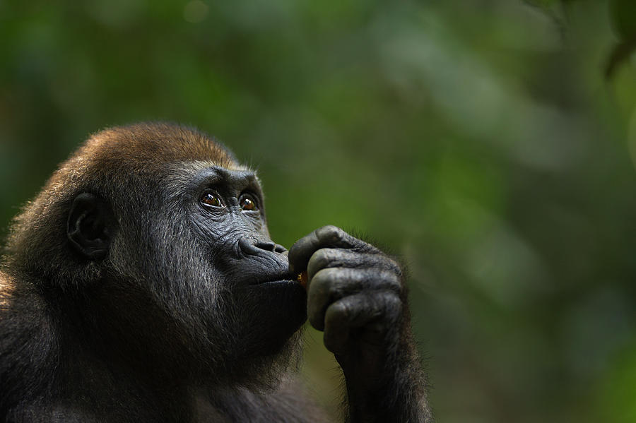 Western Lowland Gorilla Juvenile Male Photograph by Anup Shah