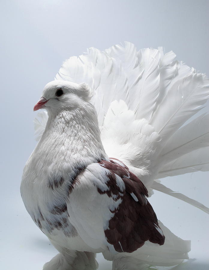 White and Brown Indian Fantail Pigeon by Nathan Abbott