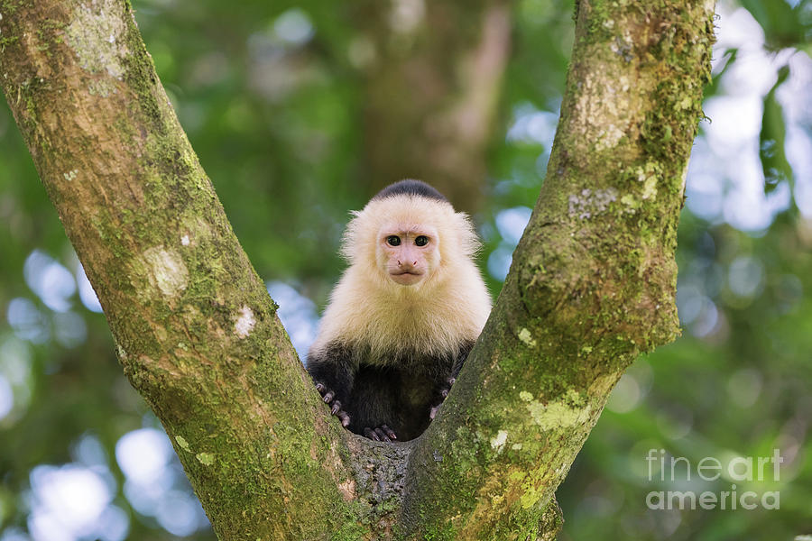 Animal Photograph - White-faced Capuchin Monkey by Dr P. Marazzi/science Photo Library