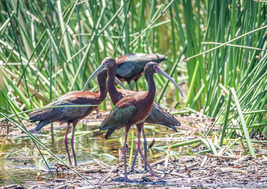 White Faced Ibis by Michael Chatt