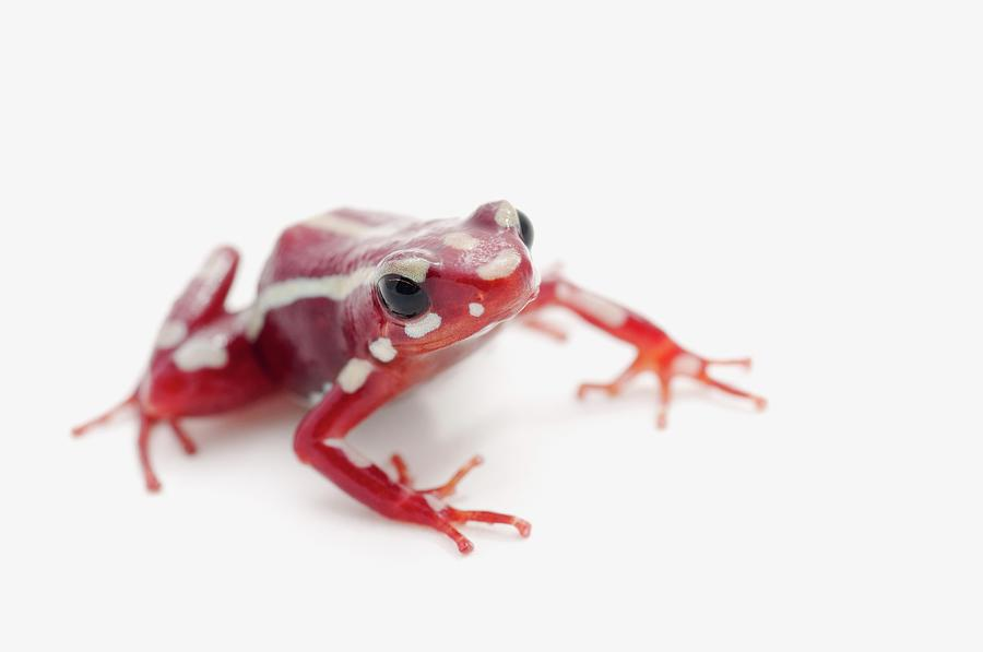 White-striped Poison Dart Frog Photograph by Design Pics / Corey Hochachka