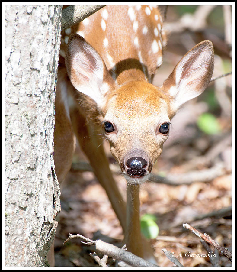 White-tailed Deer Fawn, Animal Portrait by A Gurmankin
