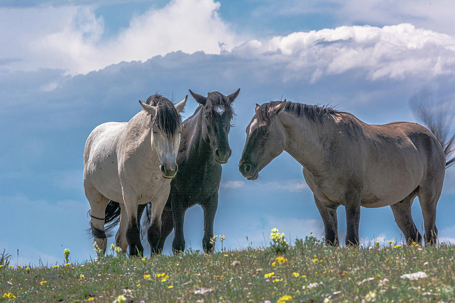 Wild Mustangs of Montana by Douglas Wielfaert