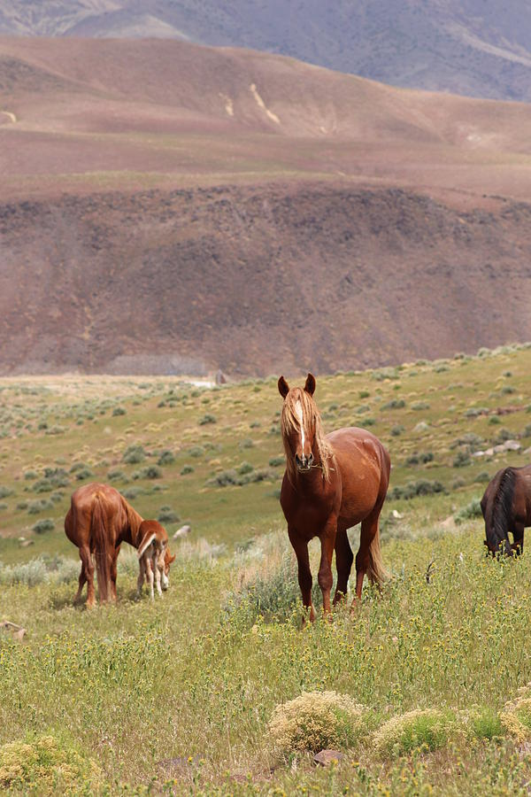 Wild Mustangs by Paul Comish