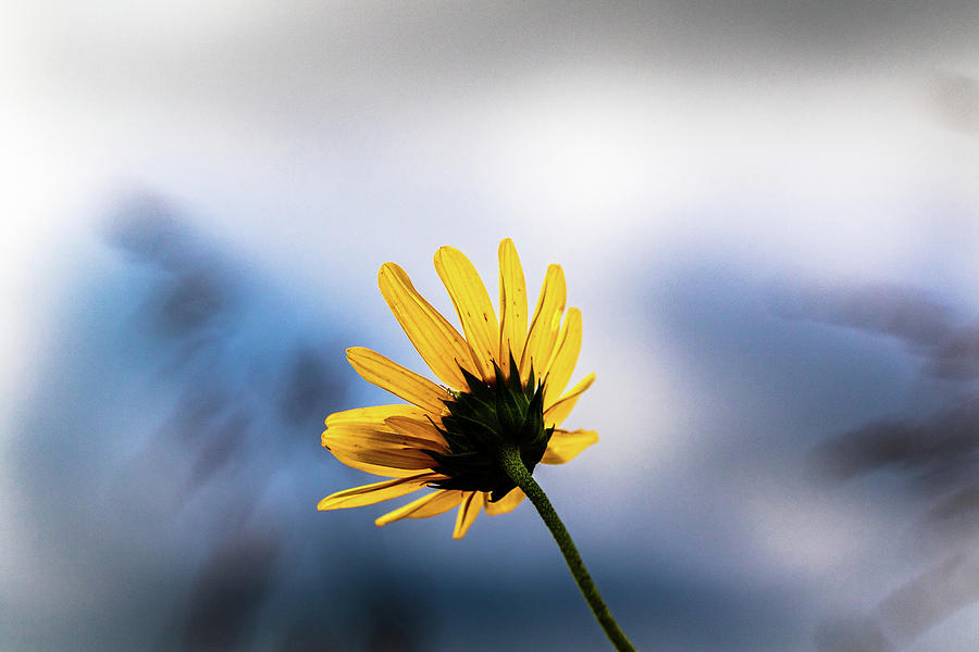 Wild Sunflower by Jay Stockhaus