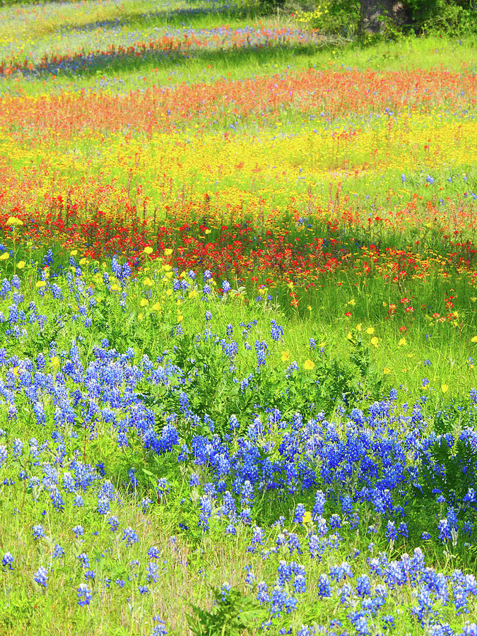 Blue Bonnet Photograph - Wildflowers Along Highway 29 by Sylvia Gulin