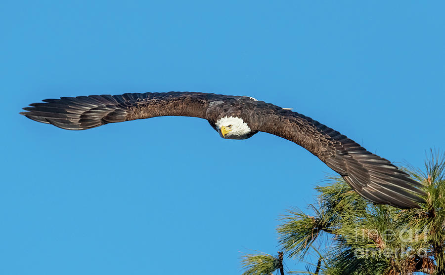 Eagle Photograph - Wingspan by Mike Dawson