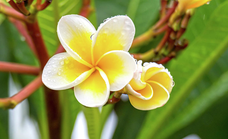 Yellow and White Frangipani Flowers on a rainy day by Merrillie Redden