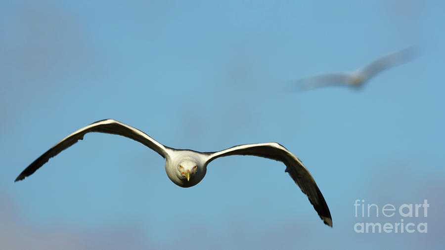 Yellow-legged Gull Flying by Pablo Avanzini