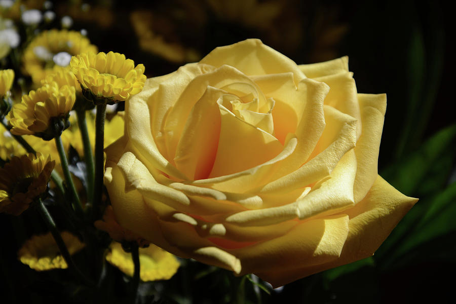 Yellow Rose by Whispering Peaks Photography