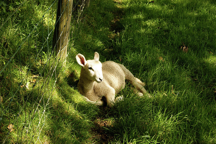 20/06/14  KESWICK. Lamb In The Woods. by Lachlan Main